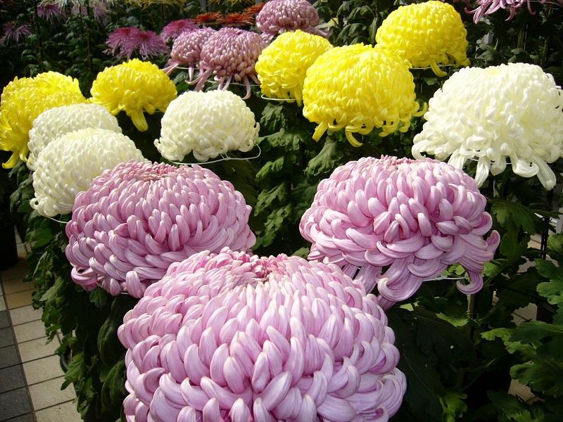 Lựa chọn một số loại hoa thường gặp 7