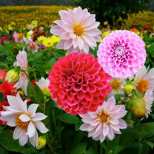 Lựa chọn một số loại hoa thường gặp 5