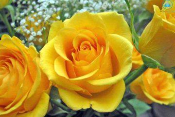 """Hoa hồng """" Nữ hoàng"""" của các loài hoa tươi"""