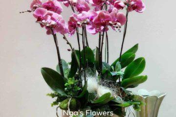 Cách trồng chăm sóc hoa lan hồ điệp dịp tết