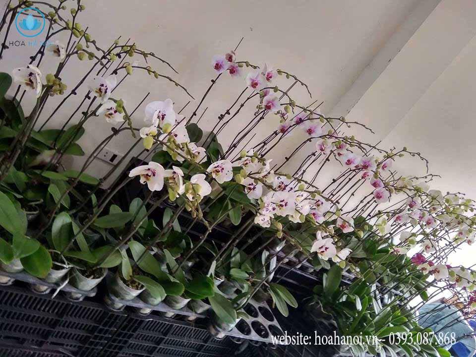Một số mẫu hoa lan hồ điệp của điện hoaNga's Flower 9
