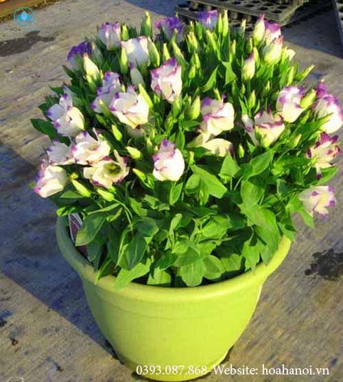 Những loài hoa nên chưng trong ngày tết để rước tài lộc cho gia chủ 7